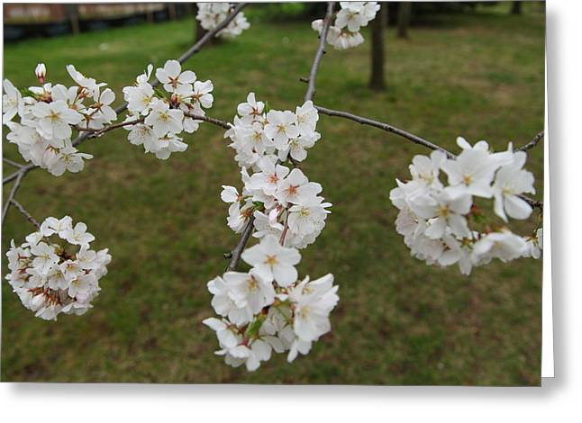 Bloom Photographs Greeting Cards - Cherry Blossoms - Washington DC - 0113117 Greeting Card by DC Photographer