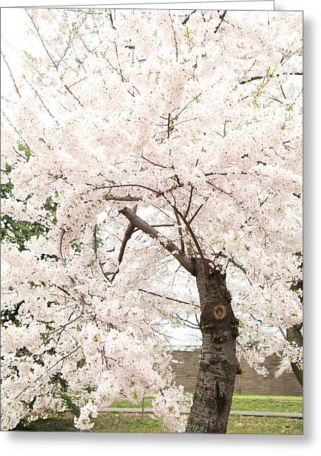 Cherry Blossoms - Washington Dc - 0113119 Greeting Card by DC Photographer