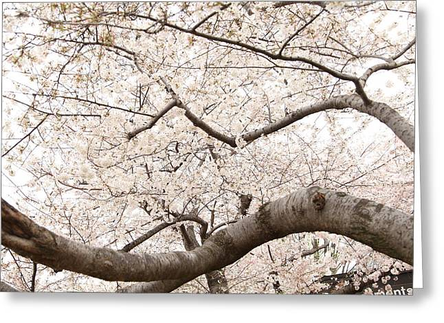 Cherry Blossoms - Washington Dc - 0113121 Greeting Card by DC Photographer