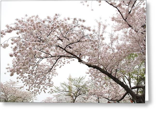 Bloom Greeting Cards - Cherry Blossoms - Washington DC - 0113122 Greeting Card by DC Photographer