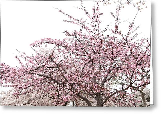 Cherry Blossoms - Washington Dc - 0113123 Greeting Card by DC Photographer