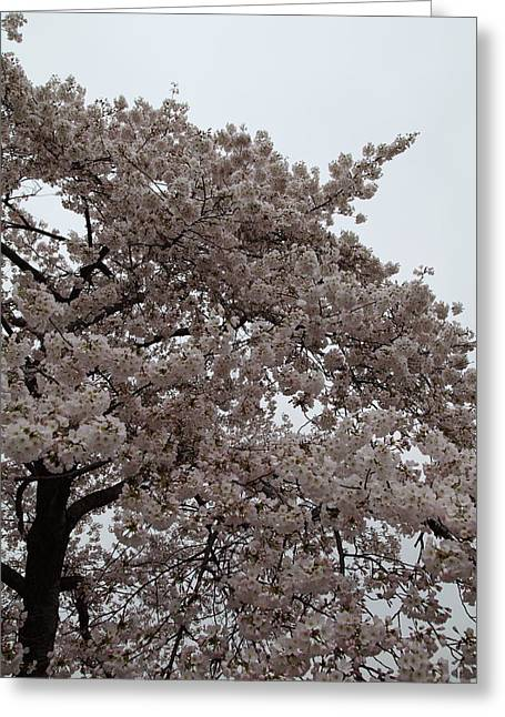 Japanese Greeting Cards - Cherry Blossoms - Washington DC - 0113125 Greeting Card by DC Photographer