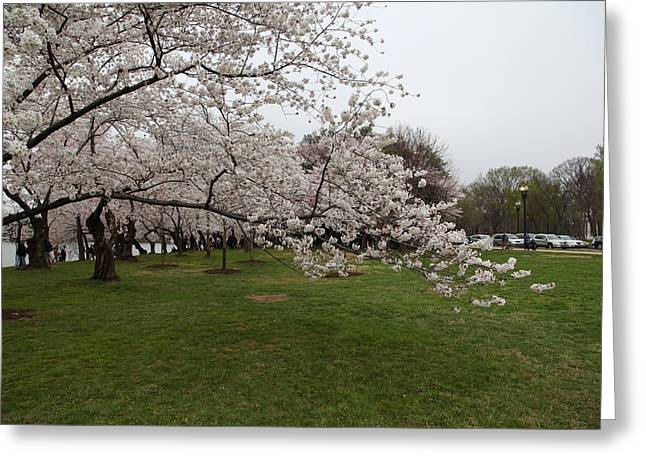 Japanese Greeting Cards - Cherry Blossoms - Washington DC - 0113130 Greeting Card by DC Photographer