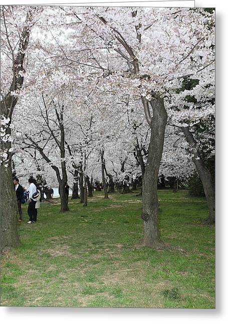 Cherry Blossoms - Washington Dc - 0113131 Greeting Card by DC Photographer