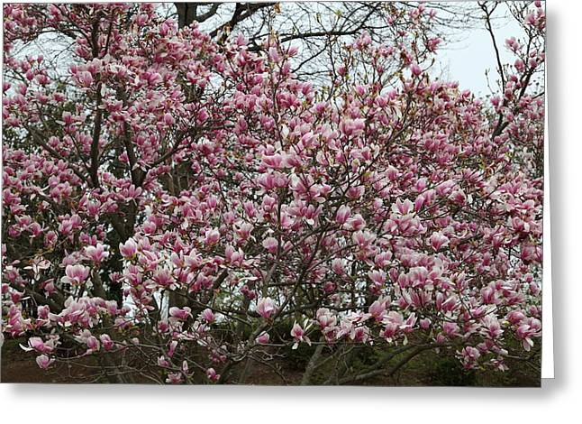 Destinations Greeting Cards - Cherry Blossoms - Washington DC - 0113133 Greeting Card by DC Photographer