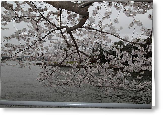 Cherry Blossoms - Washington Dc - 0113134 Greeting Card by DC Photographer