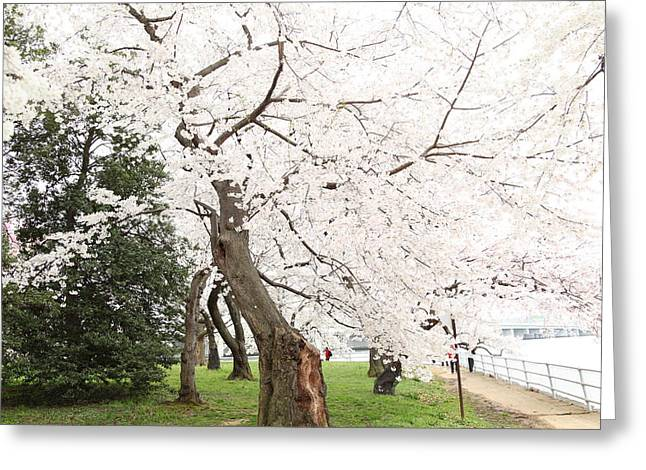 Blossoms Greeting Cards - Cherry Blossoms - Washington DC - 0113135 Greeting Card by DC Photographer