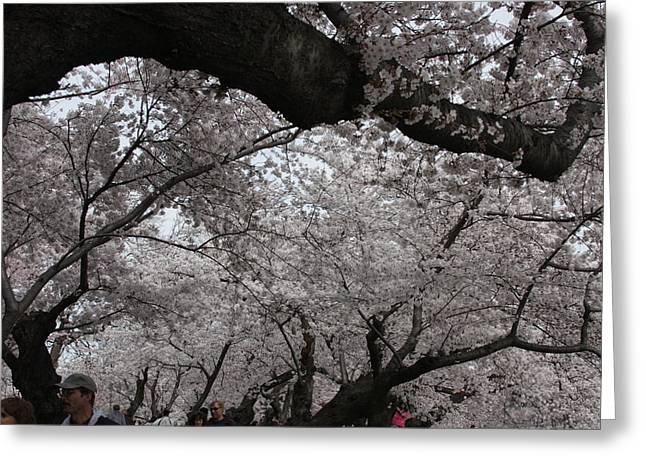 Washington Greeting Cards - Cherry Blossoms - Washington DC - 011330 Greeting Card by DC Photographer