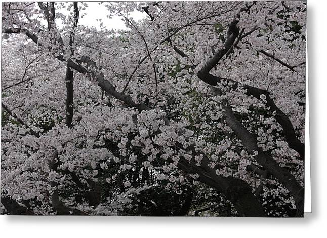 Dc Greeting Cards - Cherry Blossoms - Washington DC - 011331 Greeting Card by DC Photographer