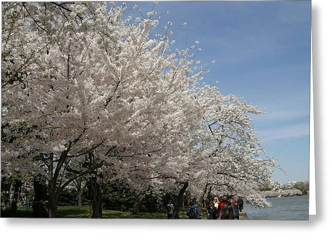 Recently Sold -  - White Photographs Greeting Cards - Cherry Blossoms - Washington DC - 011341 Greeting Card by DC Photographer