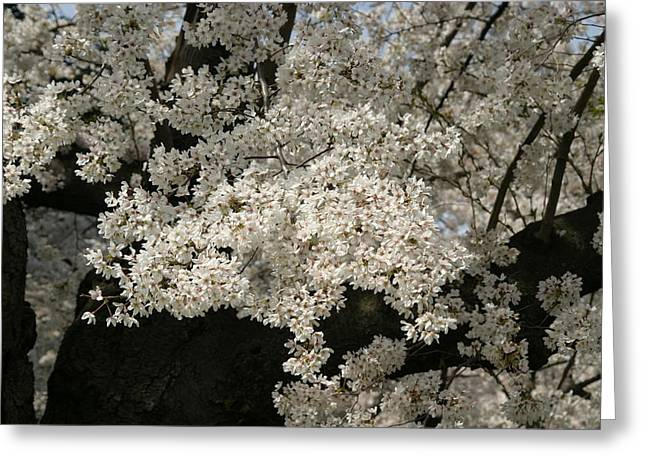 Tidal Greeting Cards - Cherry Blossoms - Washington DC - 011343 Greeting Card by DC Photographer