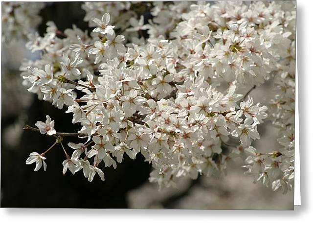 Japanese Greeting Cards - Cherry Blossoms - Washington DC - 011344 Greeting Card by DC Photographer