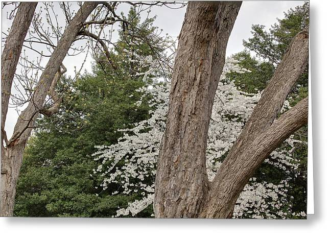 Flowering Greeting Cards - Cherry Blossoms - Washington DC - 011352 Greeting Card by DC Photographer