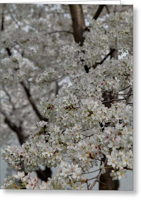 Attraction Greeting Cards - Cherry Blossoms - Washington DC - 011358 Greeting Card by DC Photographer