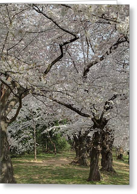 Vacation Greeting Cards - Cherry Blossoms - Washington DC - 011374 Greeting Card by DC Photographer