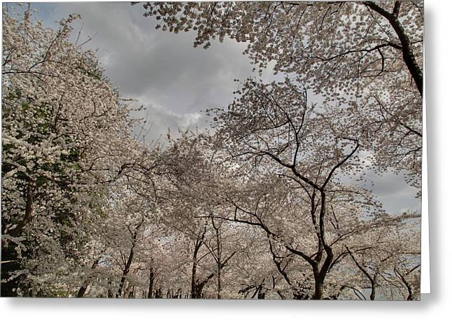 Soft Greeting Cards - Cherry Blossoms - Washington DC - 011377 Greeting Card by DC Photographer