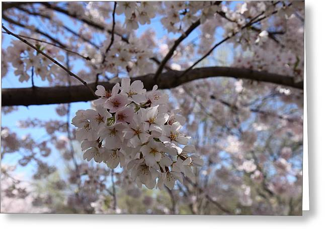 Blooming Greeting Cards - Cherry Blossoms - Washington DC - 01138 Greeting Card by DC Photographer