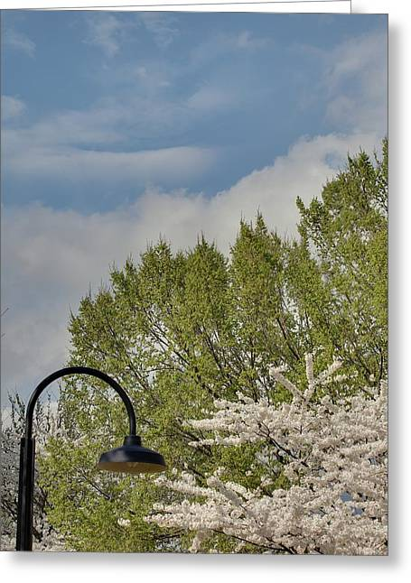 White Photographs Greeting Cards - Cherry Blossoms - Washington DC - 011386 Greeting Card by DC Photographer