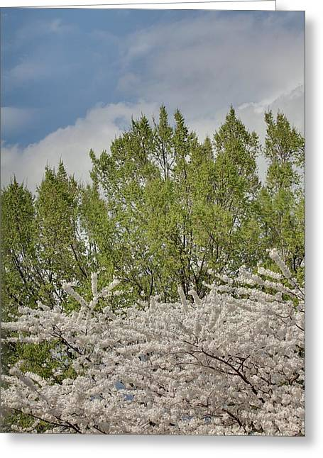Holidays Greeting Cards - Cherry Blossoms - Washington DC - 011387 Greeting Card by DC Photographer