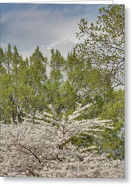 Usa Photographs Greeting Cards - Cherry Blossoms - Washington DC - 011388 Greeting Card by DC Photographer