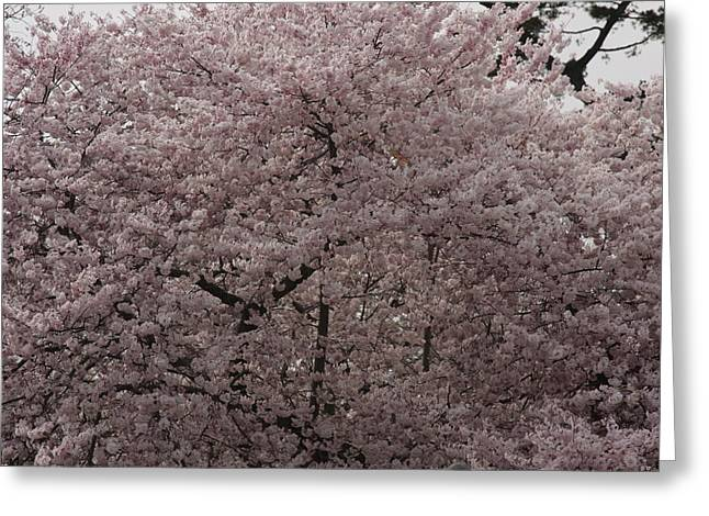 Bloom Photographs Greeting Cards - Cherry Blossoms - Washington DC - 01139 Greeting Card by DC Photographer