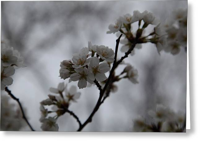 Jefferson Greeting Cards - Cherry Blossoms - Washington DC - 011399 Greeting Card by DC Photographer