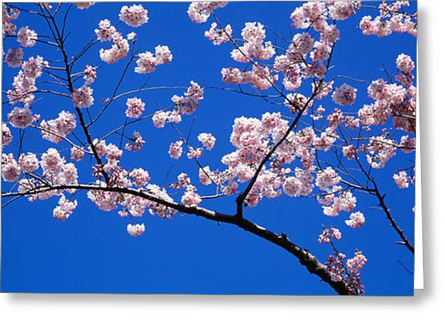 Pink Flower Branch Greeting Cards - Cherry Blossoms Washington Dc Usa Greeting Card by Panoramic Images