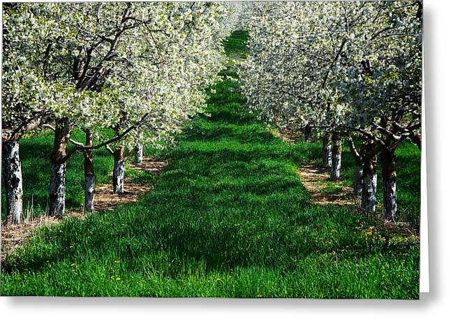 Dereske Greeting Cards - Cherry Orchard Morning Greeting Card by Mary Lee Dereske