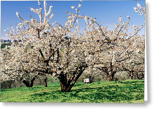 Colorful Photography Greeting Cards - Cherry Orchard, Oregon, Usa Greeting Card by Panoramic Images