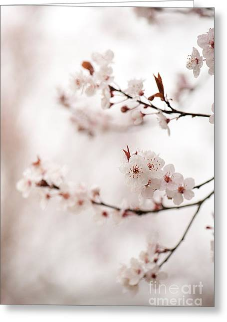 March Greeting Cards - Cherry Plum Blossom Greeting Card by Anne Gilbert