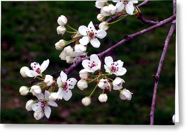 """flower Still Life Prints"" Greeting Cards - Cherry Tree Blossoms Greeting Card by B L Hickman"