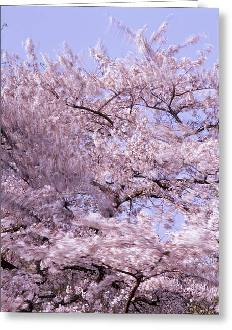 Moving Petals Greeting Cards - Cherry tree moving in the wind Greeting Card by Intensivelight