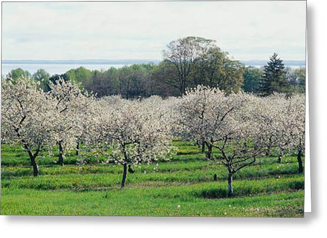 Farm Photography Greeting Cards - Cherry Trees In An Orchard, Mission Greeting Card by Panoramic Images