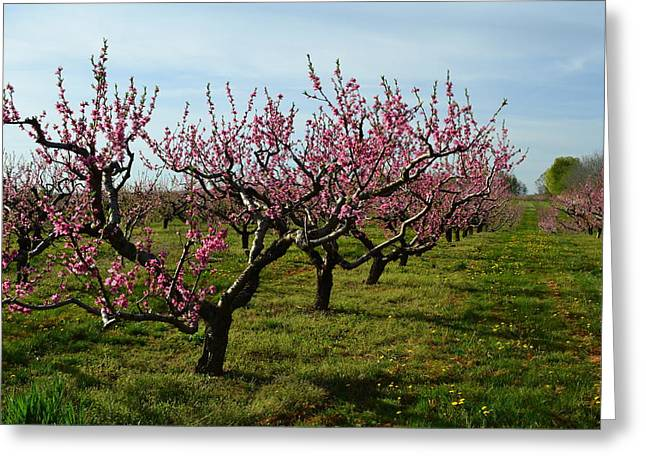 Fruiting Greeting Cards - Cherry Trees Greeting Card by Michelle Calkins