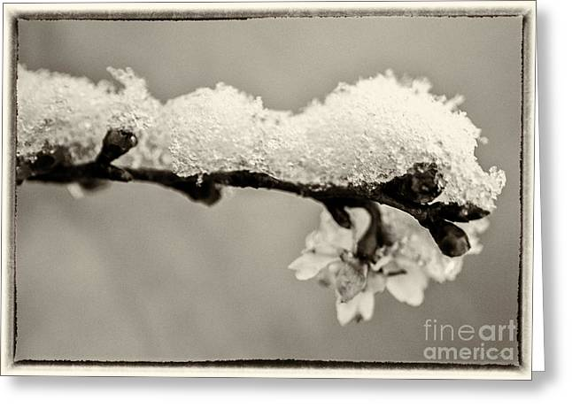 Owner Greeting Cards - Cherryblossom with Snow sepia Greeting Card by Iris Richardson