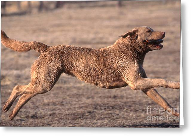 Panting Dog Greeting Cards - Chesapeake Bay Retriever Greeting Card by William H. Mullins