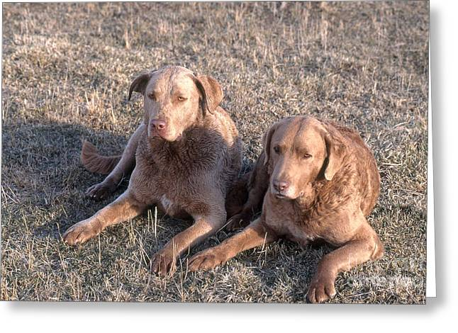 Bred Greeting Cards - Chesapeake Bay Retrievers Greeting Card by William H. Mullins
