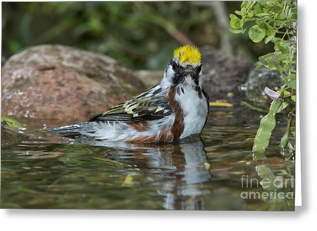 Setophaga Greeting Cards - Chestnut-sided Warbler Greeting Card by Anthony Mercieca