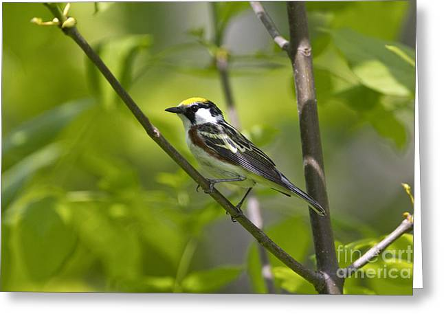 Wood Warbler Greeting Cards - Chestnut-sided Warbler Greeting Card by Linda Freshwaters Arndt