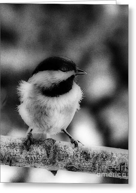 Photos Of Birds Greeting Cards - Chicadee Greeting Card by Skip Willits