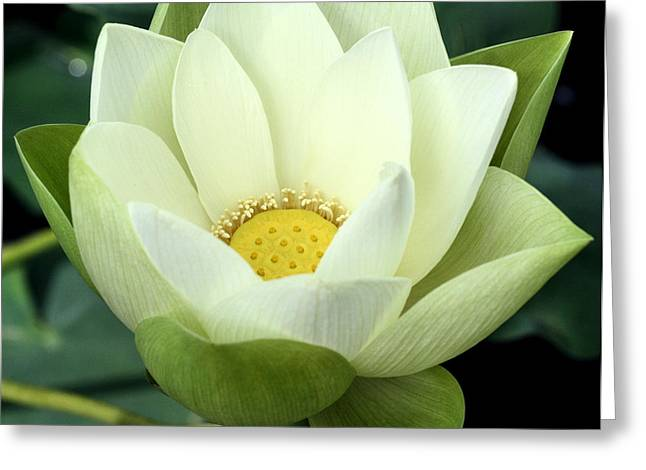 White Lotus Greeting Cards - Chicago Botanical Gardens - 67 Greeting Card by Ely Arsha