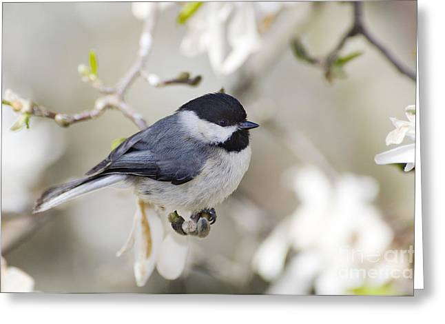 Southern Indiana Greeting Cards - Chickadee and Magnolia - D008970 Greeting Card by Daniel Dempster