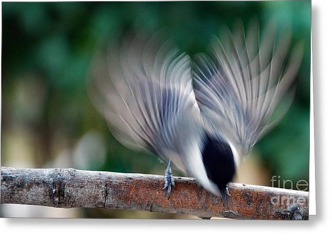 Photos Of Birds Greeting Cards - Chickadee Fright Greeting Card by Skip Willits
