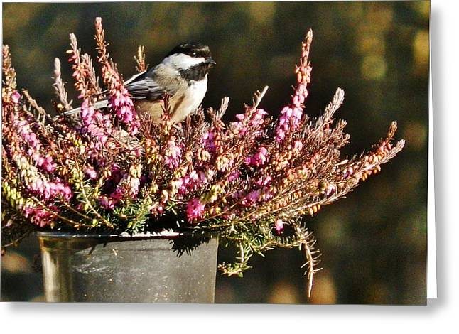 Black Greeting Cards - Chickadee on Heather Greeting Card by VLee Watson