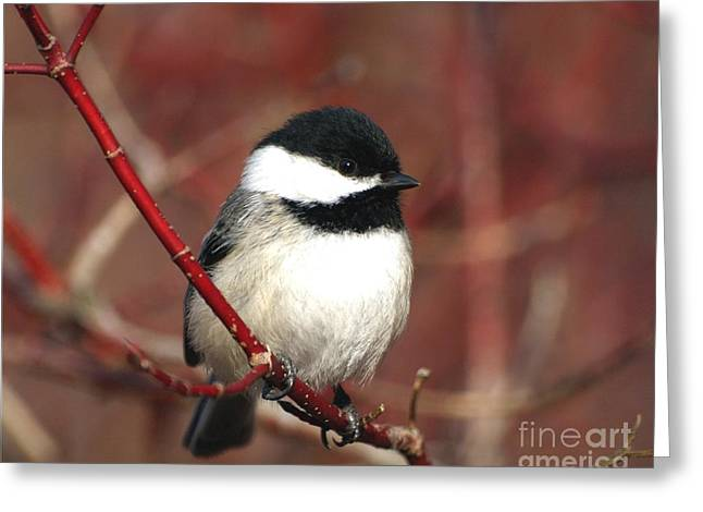 Red Wine Prints Greeting Cards - Chickadee Greeting Card by Susan  Dimitrakopoulos