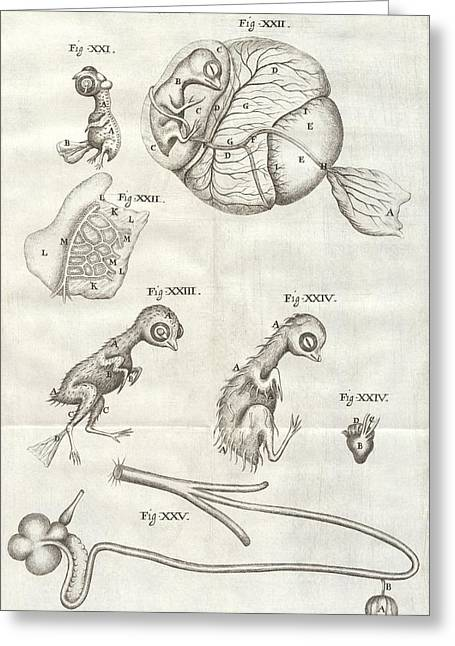 Chick Embryo Greeting Cards - Chicken embryo, 17th Century artwork Greeting Card by Science Photo Library