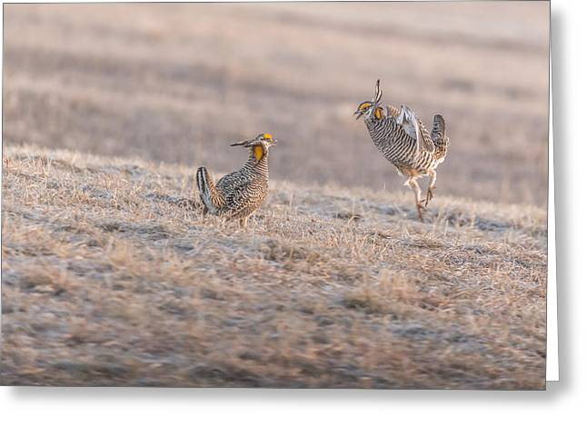 Prairie Chicken Greeting Cards - Chicken Fight Greeting Card by Thomas Young