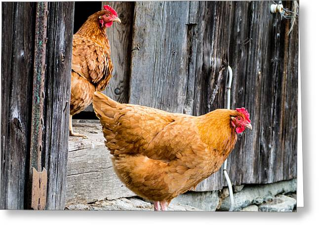 New Hampshire Greeting Cards - Chickens at the Barn Greeting Card by Edward Fielding