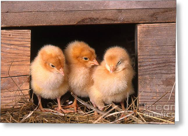 Chicken Coop Greeting Cards - Chicks In Coop Greeting Card by Alan and Sandy Carey