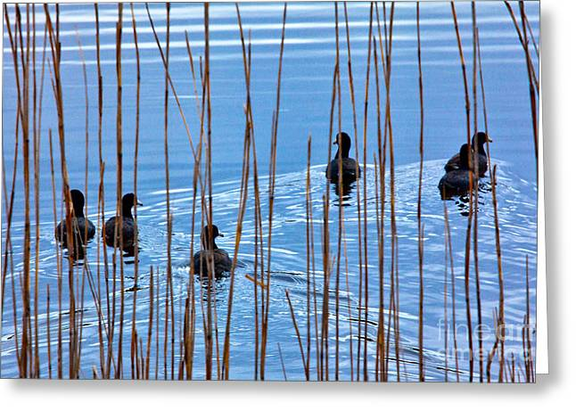 Chicks In Water With Reeds On The Outer Banks I Greeting Card by Dan Carmichael